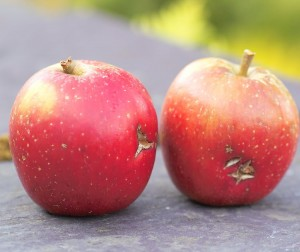 apple-blemish-300x252