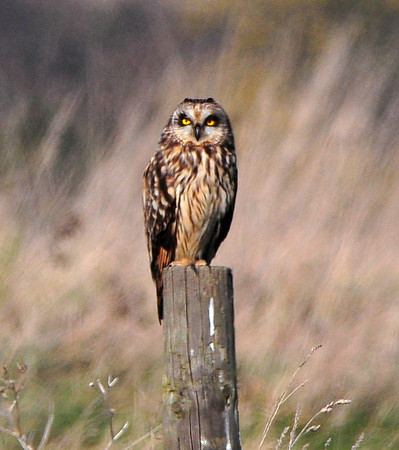 Short-eared Owl. EWT Thameside Nature Park, Thurrock. 19th February 2013. Photo by Denis Tuck.