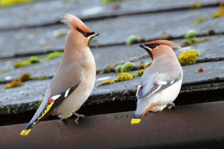 The stunning waxwing bird has been sighted in Essex this winter, and the charity, which has bases at Chafford Gorges Nature Reserve and Thameside Nature Park - image Thurrock Gazette