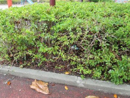 Rubbish under the bushes that surround the praça