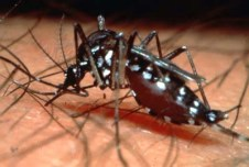Aedes aegypti plays Dengue once, dengue twice you're dead