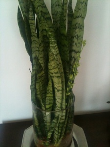 Sansevieria trifasciata - known for purifying the air