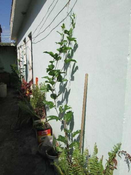 Passion fruit growing up the side of the house, ready for fruit next year