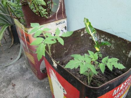 Self-sown tomatoes growing in the soil from an ornamental plant