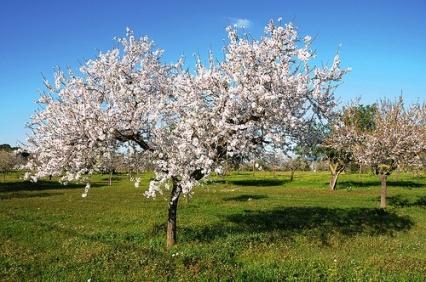 Almond-trees1
