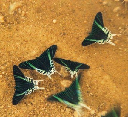 BoliviaButterflies