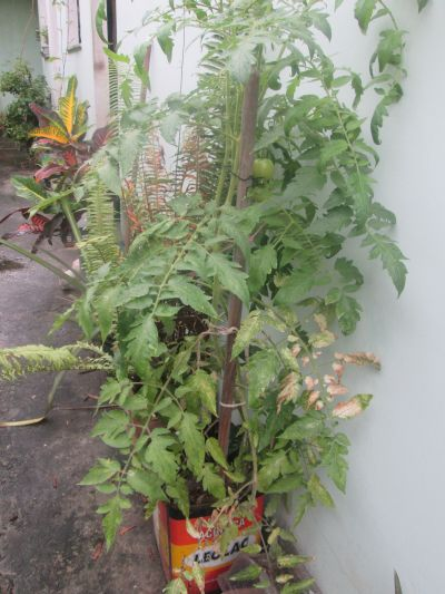 What's holding up my tomatoes? An old broom handle