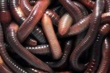 Lots of big fat juicy worms
