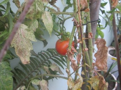 TomatoEnd