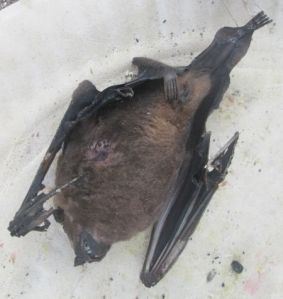 A dead bat in the praça yesterday