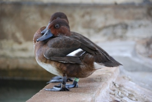 Madagascar pochard - I changed the image from the BBC video capture.