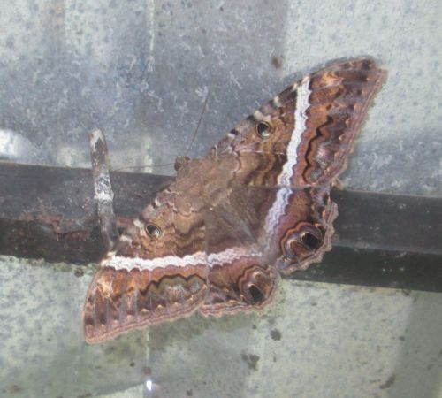 A big moth is as far as I can classify this at the moment