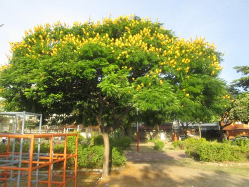 KJassod tree in full flower