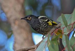 Regent_Honeyeater@body
